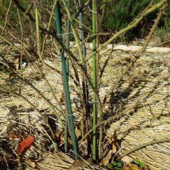 横に伸びた枝や細い枝を切り取ります