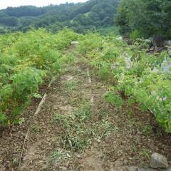 ローズ畑も除草作業が始まりました