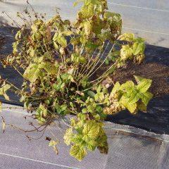レモンバームはかろうじて葉が残っています
