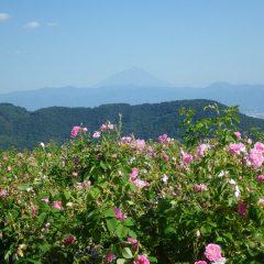 遠くに望む富士山頂の雪は随分少なくなっていました