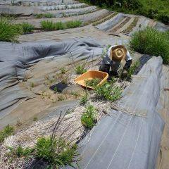 炎天下の中、レモンバーベナの除草作業