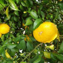 橘始黄(七十二侯)