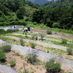 収獲の前にラベンダー畑の除草作業