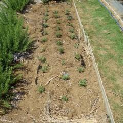 30株のローズマリーを定植しました