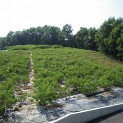 ローズ畑では梅雨の間に伸びてしまった雑草の除草作業です
