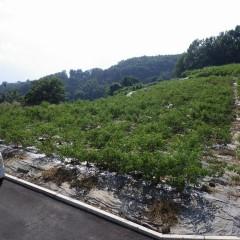 ローズの枝が胸の高さまで伸びた畑の中はサウナ状態