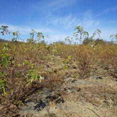 ローズ畑の除草した草の草出し作業