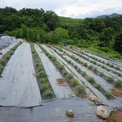 綺麗に刈り取られたラベンダー畑