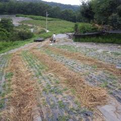 9日間連続の猛暑日で先週除草した雑草は完全に干し草になっています