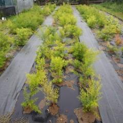 雨が降らずやや葉が黄色くなりかけたティートゥリー・レモンもこれで息を吹き返すでしょう