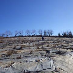 日当たりの良いローズ畑の雪はすっかり溶けています