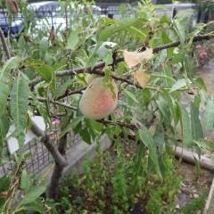 アーモンドの実が熟して桃色になりました