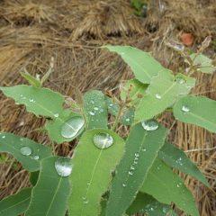 雨粒が葉っぱに溜まったユーカリ・レモン