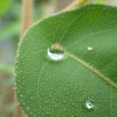 葉の上には水晶玉のようなしずくが溜まっています