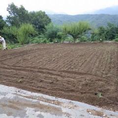 来年の為にカモマイル・ジャーマンの畑を耕しました