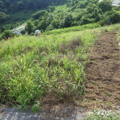 炎天下の中で辛い除草作業が続きます