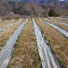 カモマイル・ジャーマン畑は雪の次に大寒波に襲われました