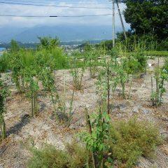 花柄取りの終わった事務局前のローズ畑