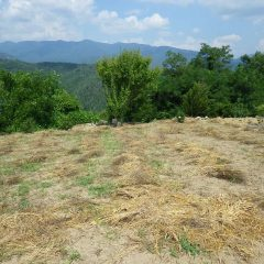 カモマイル・ジャーマン畑の除草した草の片付け