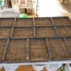 暑さも一段落、来年の為にカモマイル・ジャーマンの種蒔きをしました