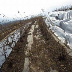 これから本剪定する仮剪定をしたローズ畑