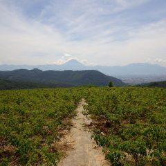 朝から猛暑のローズ畑(甲府気象台は40.3度を記録)