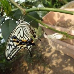 ハウスの中ではアゲハ蝶がサナギから孵化しました