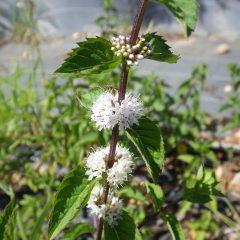 灼熱の中で咲き始めたアルベンシスミントの花が一服の清涼剤です