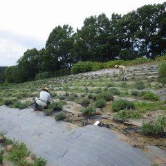 ローズ畑の除草作業が一段落したら息つく暇もなくラベンダー畑の除草作業開始です