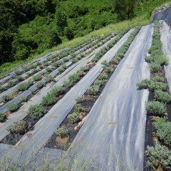 除草作業をして綺麗になったラベンダー畑