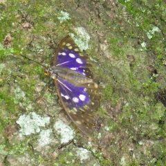 農場に国蝶オオムラサキが遊びに来てくれました