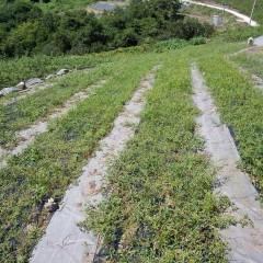 1ヶ月前に除草のしたはずのカモマイル・ジャーマン畑は草だらけ