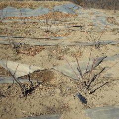 ローズ畑がイノシシに荒らされ防草シートも破られてしまいました