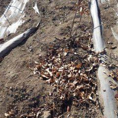 イノシシがローズの根元を掘り返した穴に落ち葉が貯まっています