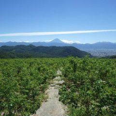 農場には台風並みの風が吹き荒れ、肌寒さを感じるほどです  久し振りに富士山がクッキリと見えました