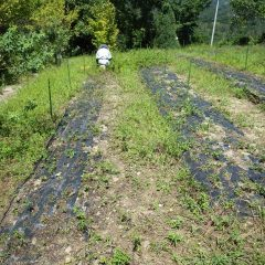 スペアミント畑の除草作業