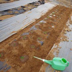 苗を植えたらタップリと灌水して定植完了