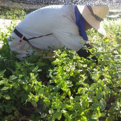 スペアミントの除草が終わってアルベンシスミントの除草作業中