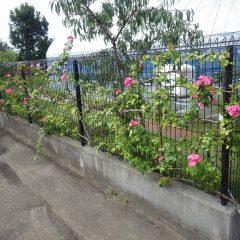 事務局前のつるバラが秋の二番花を咲かせ始めています