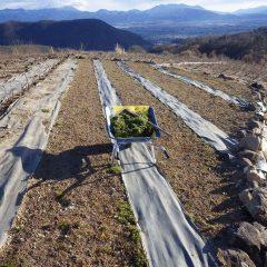 発芽率の悪いカモマイル・ジャーマン畑に移植します