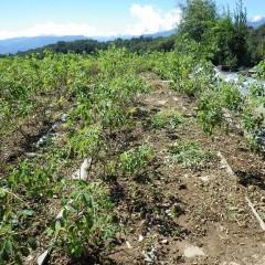 ローズ畑では除草作業が続けられています