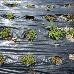 折角、3回目の除草が終わったマルチも雑草が穴からビッシリと生えています