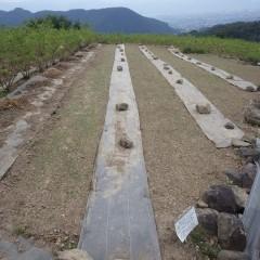 9月24日に蒔いた畑は本葉が出始め青々としてきました