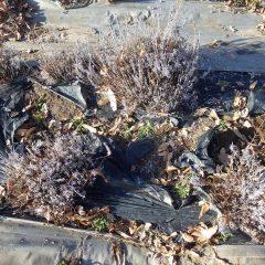 落ち葉を取り除いて綺麗になったラベンダー