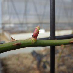 つるバラの芽は順調に伸びています