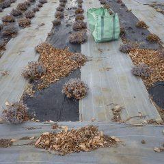 今日も寒風が吹くラベンダー畑の落ち葉片付けの続きです