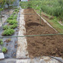 レモンバーム畑の改良
