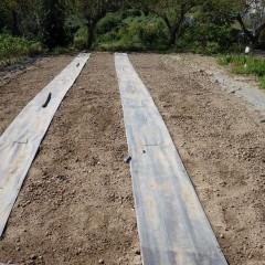 10月9日に播種したカモマイル・ジャーマン畑