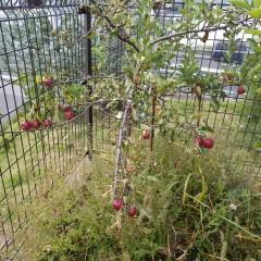 姫リンゴが赤く熟しました