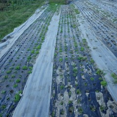 9月14日に播種したカモマイル・ジャーマン畑
